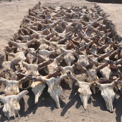 Cattle skulls arranged on the southern edge of the royal grave.